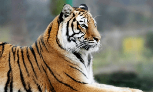 What can the Indian Tiger learn from its Celtic counterpart?